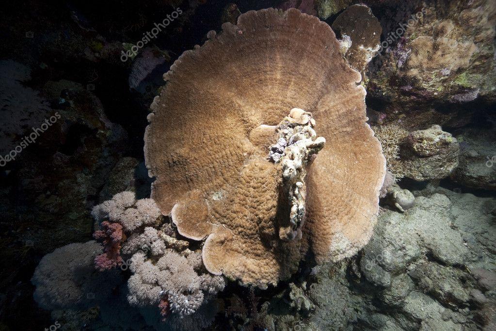 tengeri gomba a genitális szemölcsök egy típus
