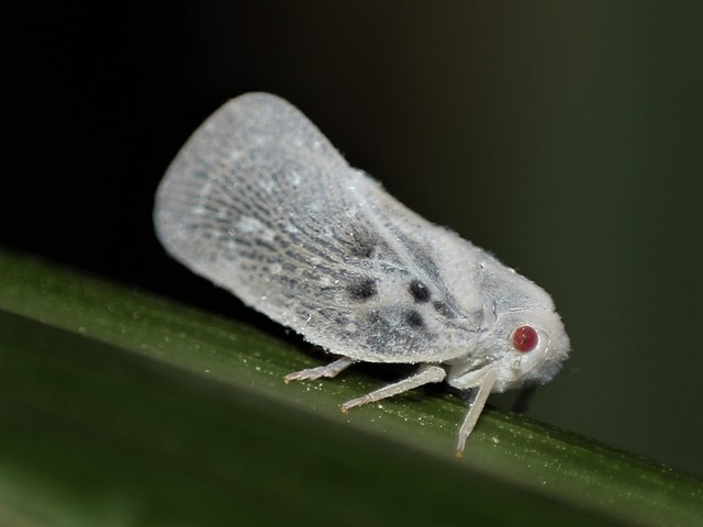 édes parazita