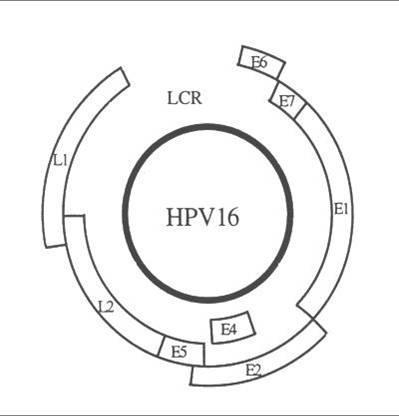 HPV fertõzés és az immun válasz   Eurocytology