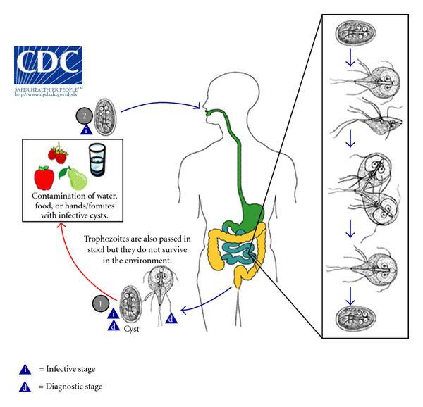 a giardia tünetei gyermekeknél agresszív rák nincs kezelés