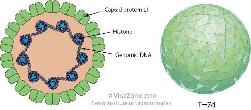 papillomaviridae vírus