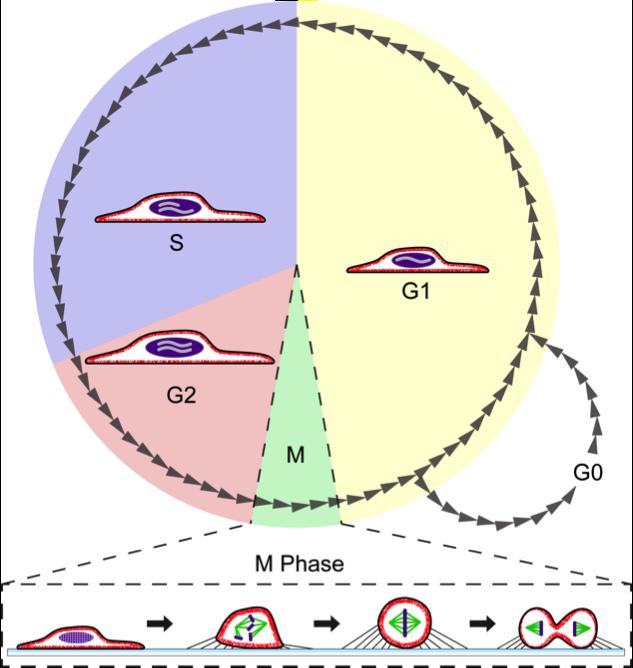 A sejtosztódás folyamata és a sejtciklus részei | podkedd.hu