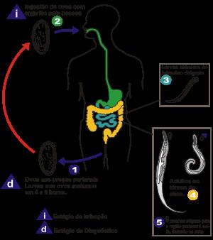 A giardia hatása a bilirubinra, Giardia sintomas transmissao e prévencao