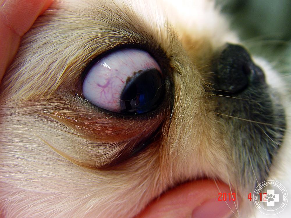 papilloma vírus 16. genotípusa a genitális szemölcsök eltávolítása a húgycsőből nőknél