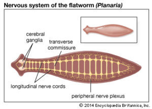 Példa-képek, Platyhelminthes példák képek Platyhelminthes példák képek