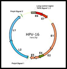 hpv papilloma vírus hibrid befogása