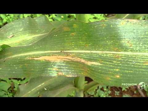 a helminthosporium sativum tünetei)