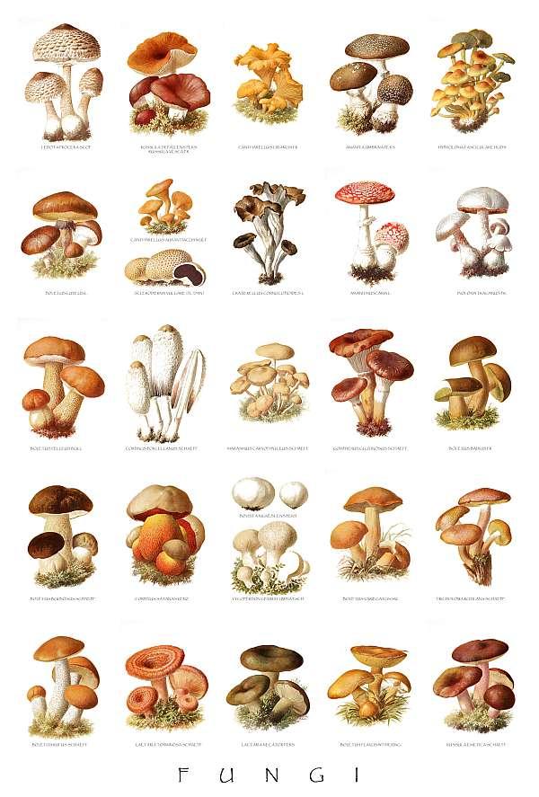 Kategória:Ehető gombák – Wikipédia
