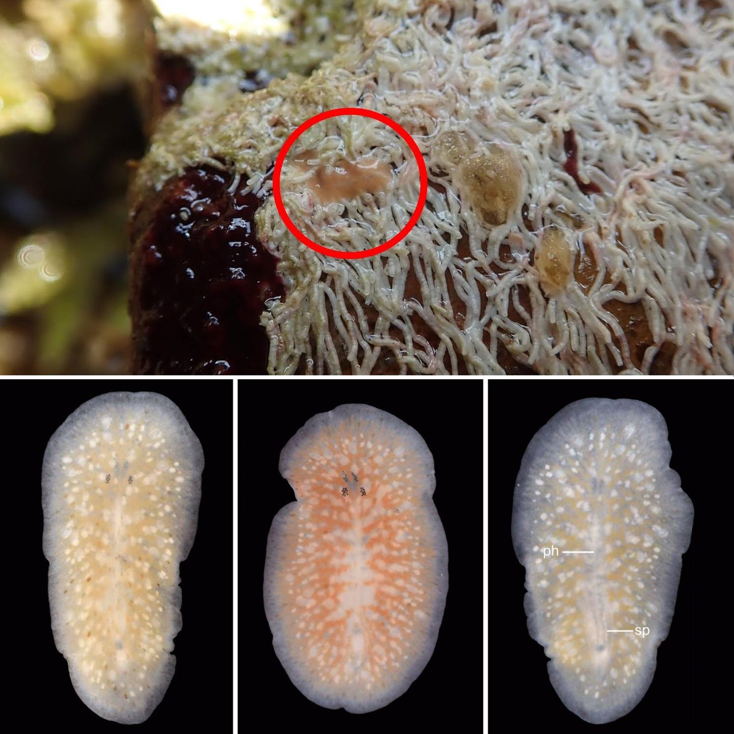 platyhelminthes polycladida