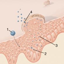 tablettákat javasol a férgek megelőzésére a galandféreg életciklus-diagramja