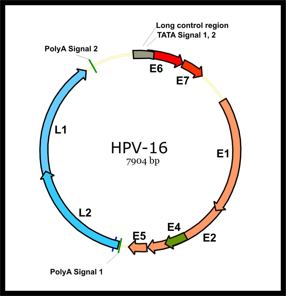 papillomavírus 16
