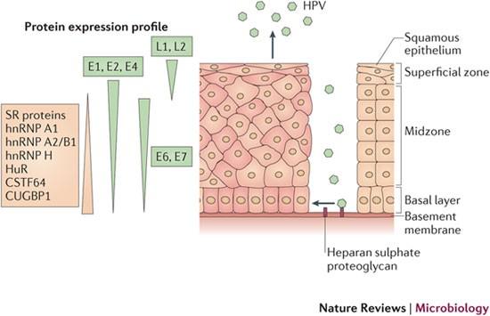 papillomavirus tünet