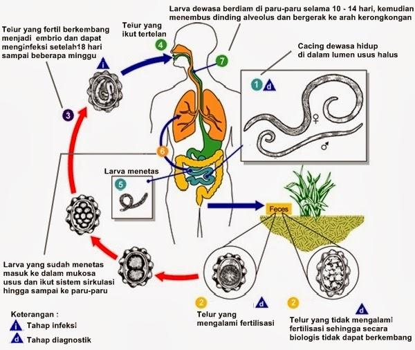 Contoh nemathelminthes parazita pada manusia