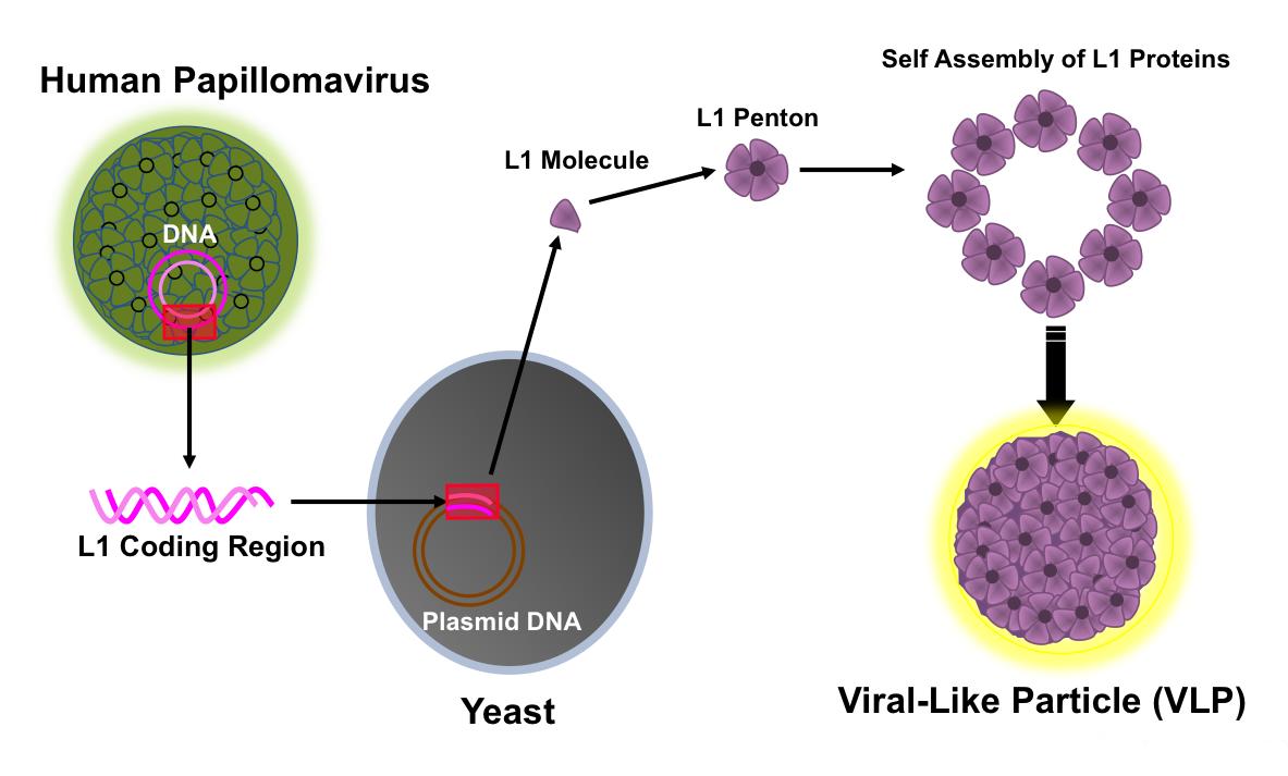 humán papilloma vírus std)