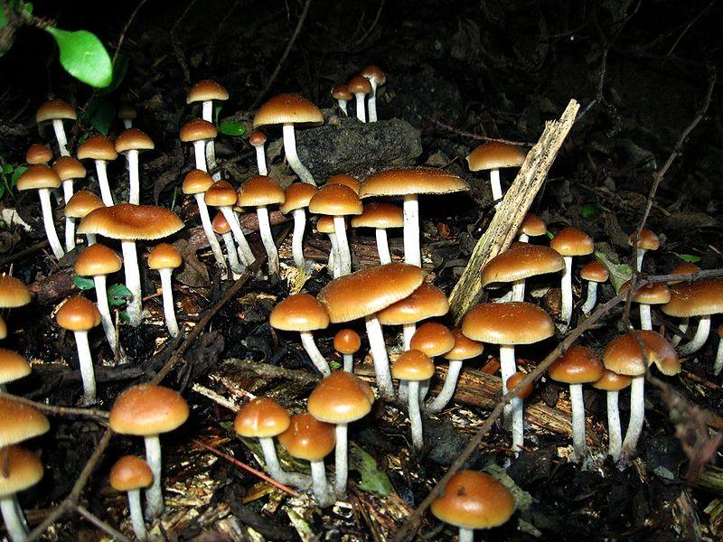 hallucinogén gombák románia