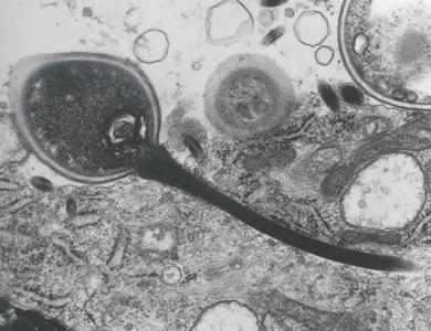 az enterobiosis kontaktus monitorozása