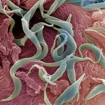 contoh spesies filum nemathelminthes)