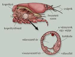 hormonális rákok