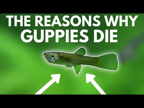 Guppies férgek, mint kezelni