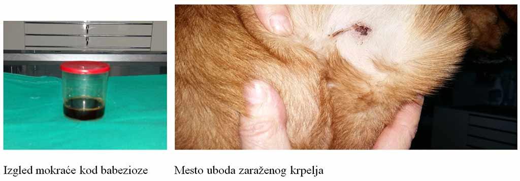 giardia kod pasa)