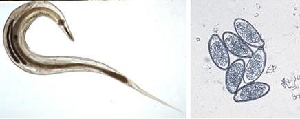 morfológia pinworms