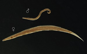 Halicephalobus mephisto - Pinworm morfológia