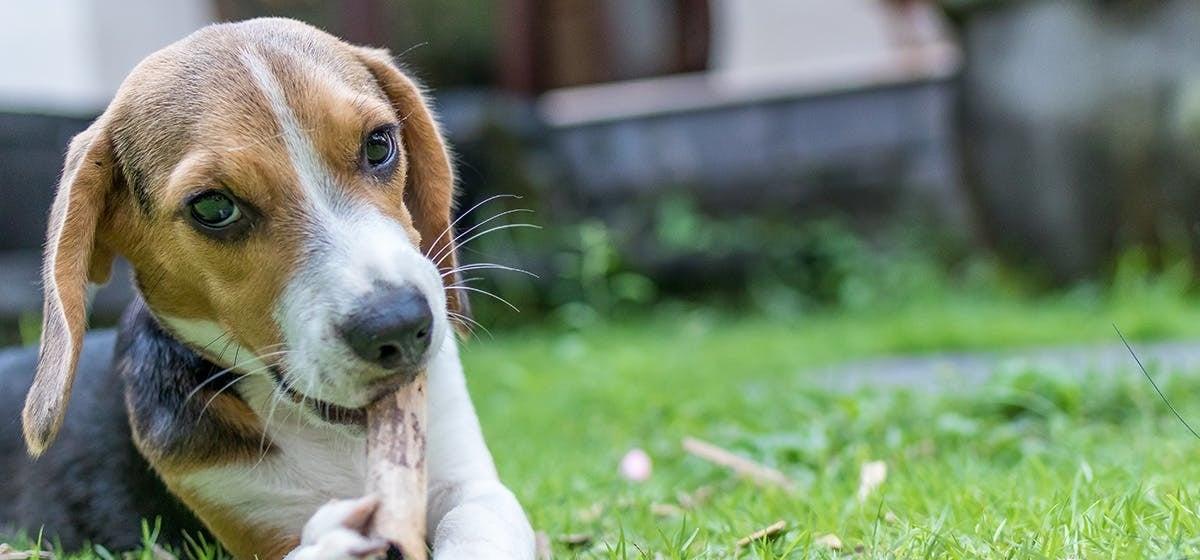 giardia kutya tünetei)