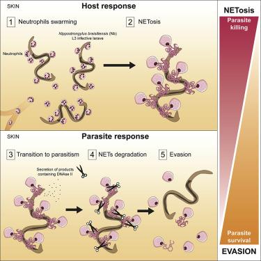 hookworm autoimmun terápia baba bélférgek