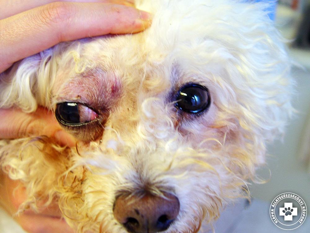 vestibularis kutya papillomatosis vérzik
