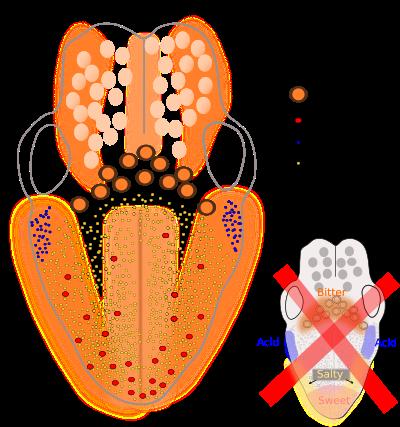 Az emésztőkészülék Apparatus digestorius