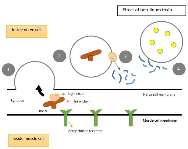 clostridium botulinum toxinok