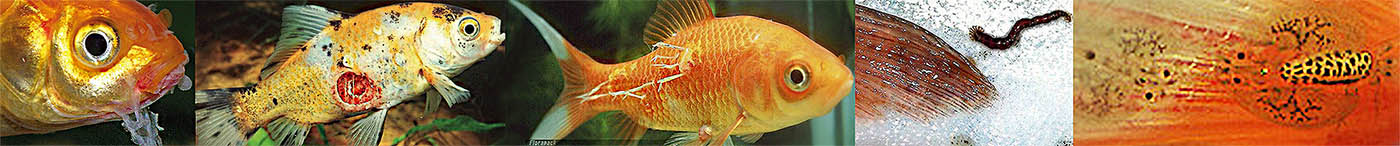 halak parazitákkal történő forgalmazása a máj természetes méregtelenítése
