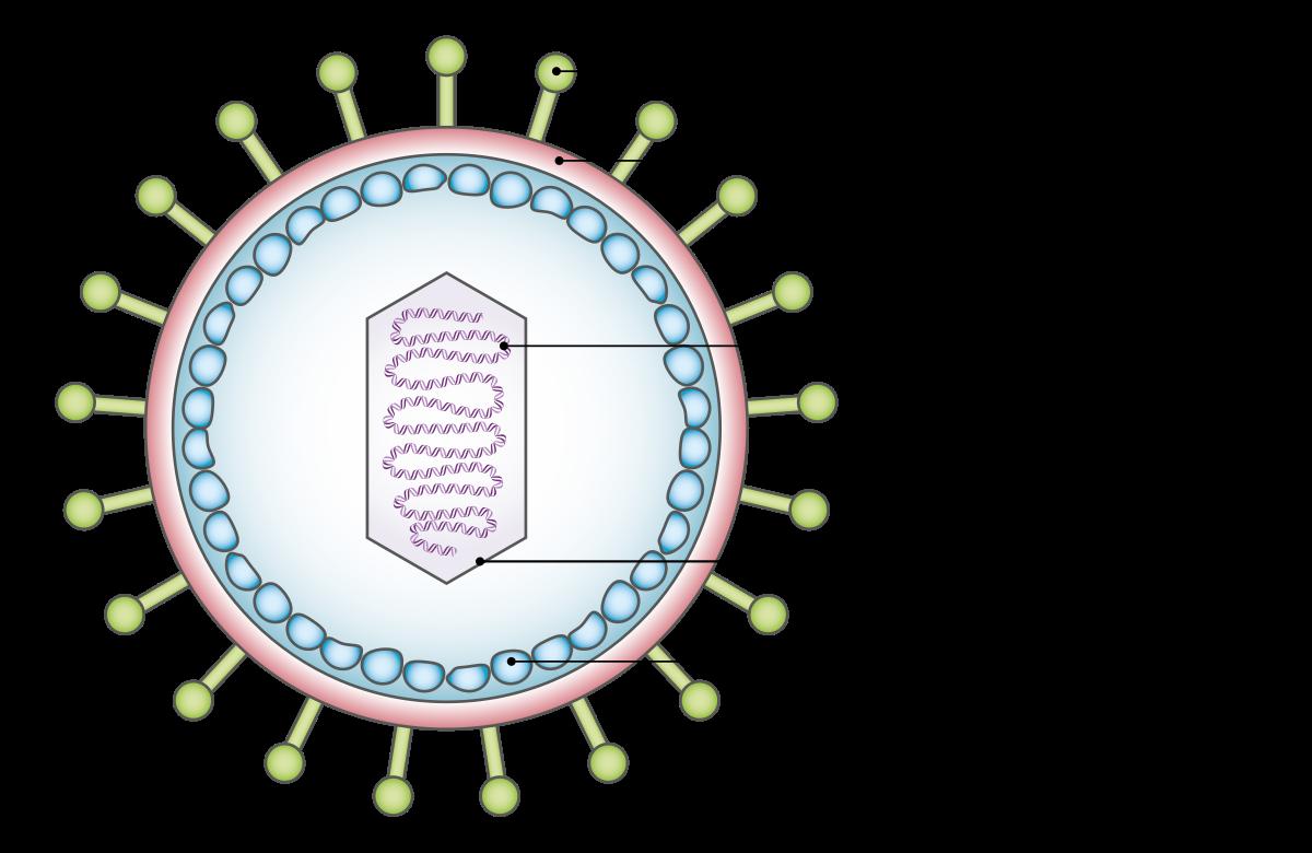 az emberi papilloma vírus a)