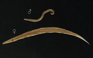 enterobius vermicularis fokhagyma)