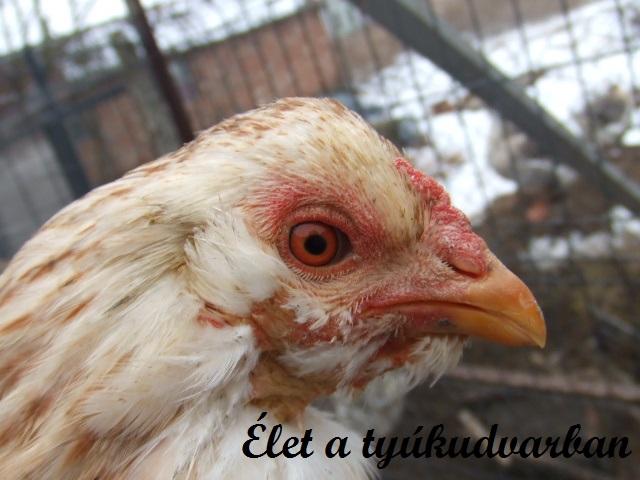 mikoplazmózis csirkék kezelésében