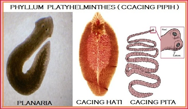 platyhelminthes turbellaria planaria