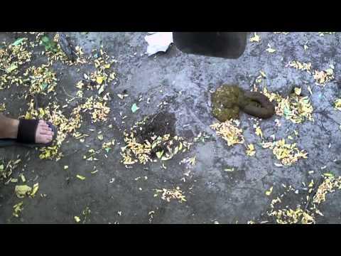 helmint fertőzés széklet)