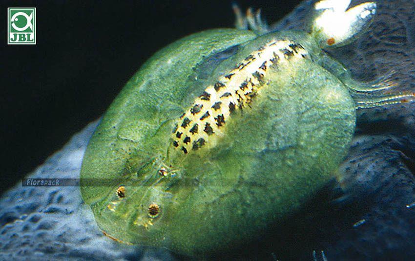 Koi paraziták kép