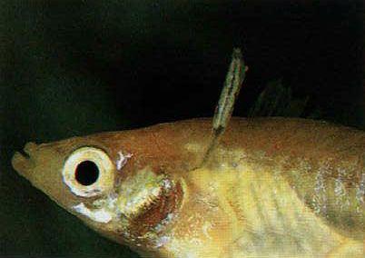 parazitákkal fertőzött halak 2020)