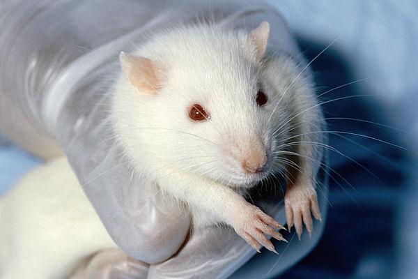 botulinum toxin nikotin patkány)
