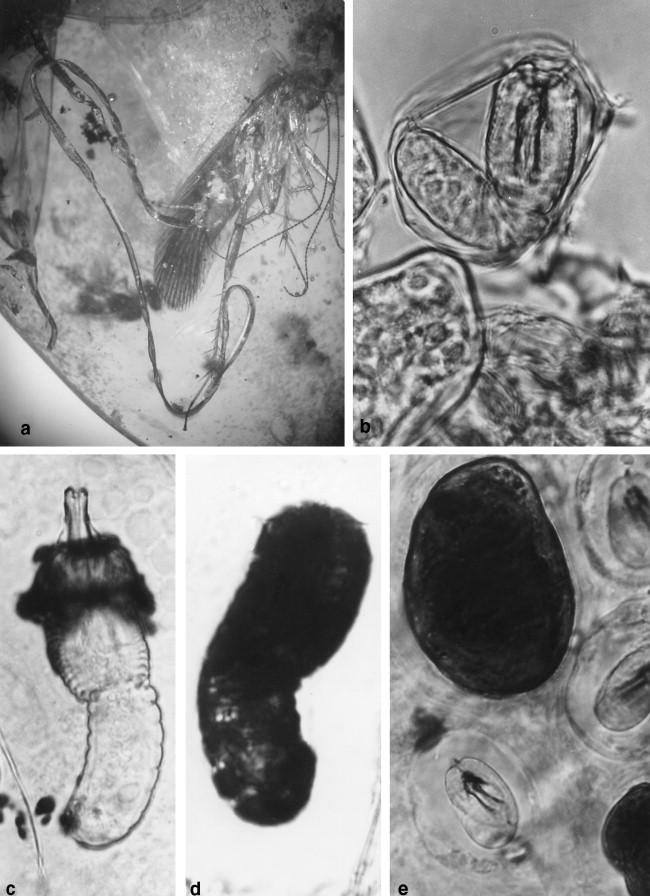 nematophora nemathelminthes