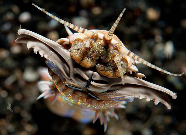 tengeri fonálféreg