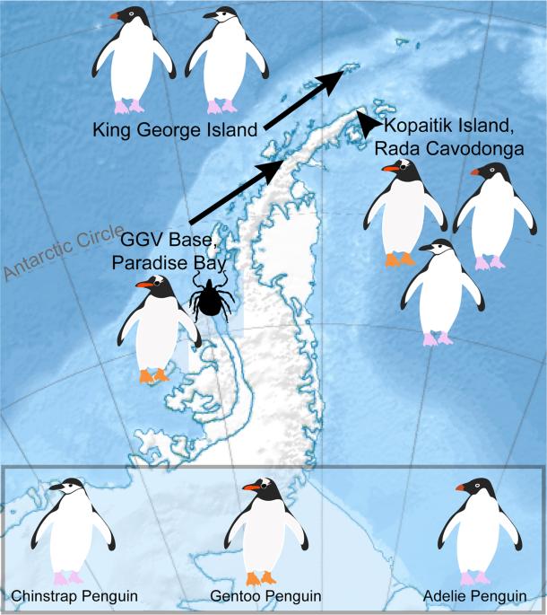 Index - Tudomány - Szagról ismerik meg rokonaikat a pingvinek
