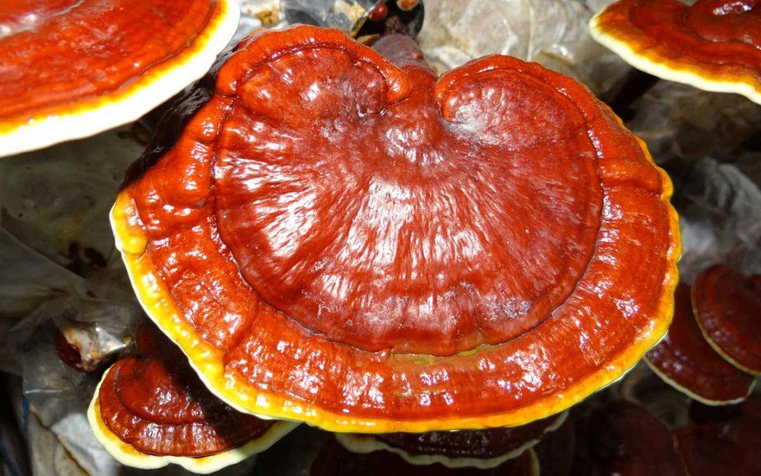 Ganoderma termékek - Vital-max étrendkiegészítő webáruház