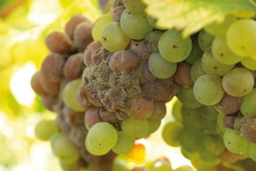 a szőlő bakteriális rákja