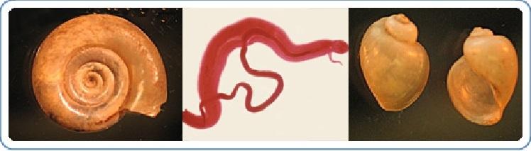 a schistosomiasis halálozási aránya