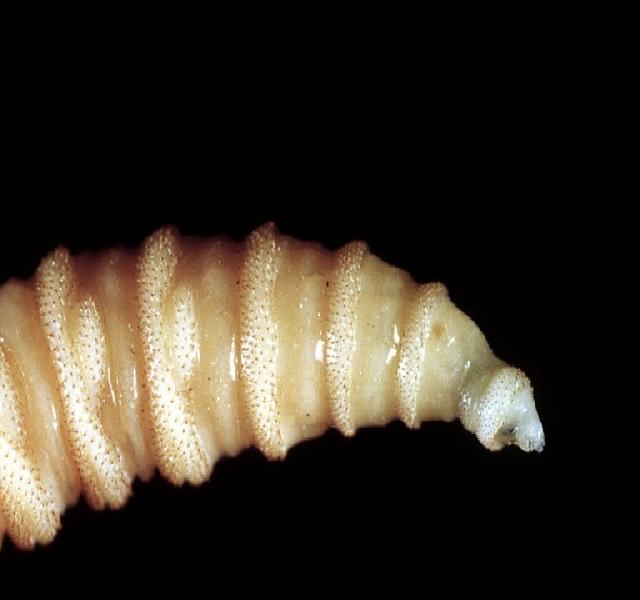 amelyből bélférgek készülnek rossz levegő, hogyan lehet megszabadulni a parazitáktól