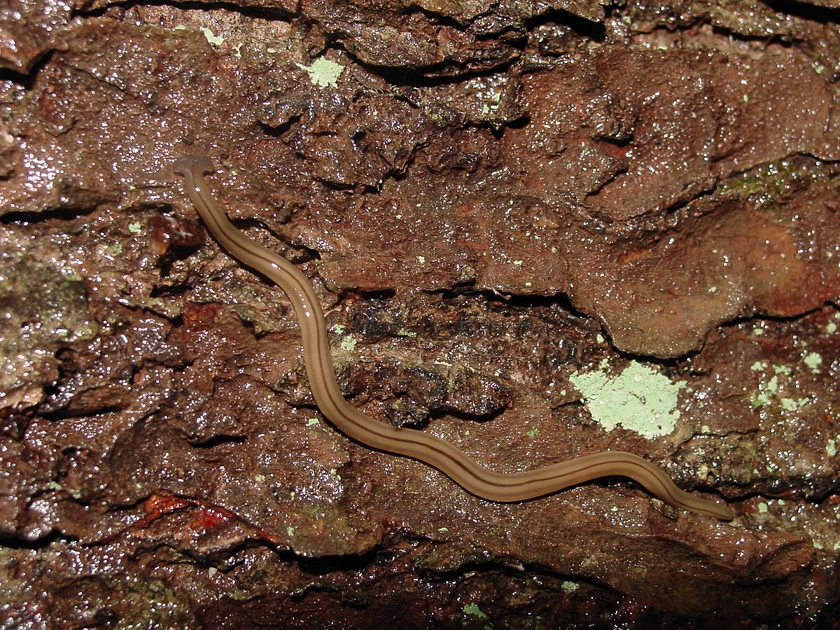 Platyhelminthes turbellaria, Platyhelminthes turbellaria bipalium