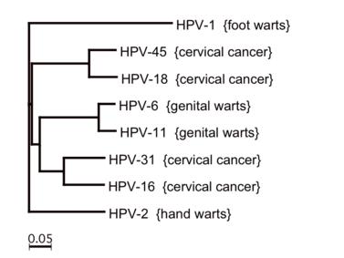 típusú papillomavírus