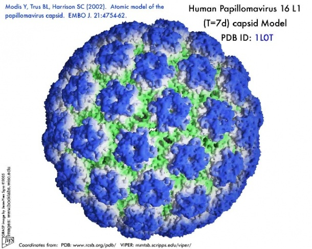 humán papillóma onkogén vírusai